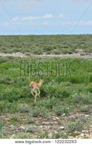 Baby Springbok antelope in Etosha national park in Namibia at sunrise time; Antidorcas Marsupialis