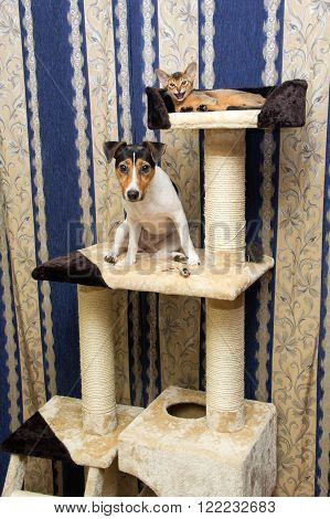 Abyssinian Kitten And Jack Russell Terrier On Cat Climbing Frame