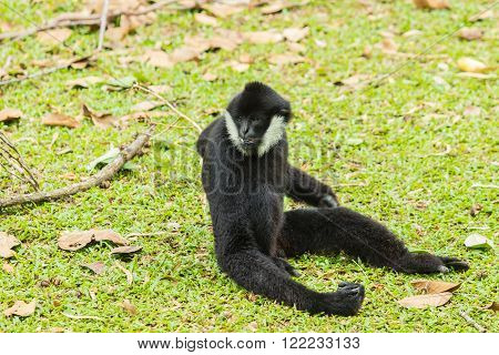 Black Siamang or black furred gibbon monkey.