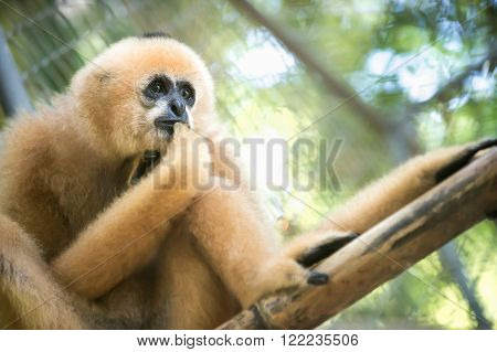 a brown gibbon in cage at public zoo.