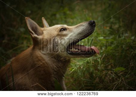 Foxy husky is wearily looking up with open mouth and green grass on background