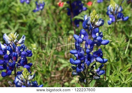 A Texas bluebonnet on right side of view