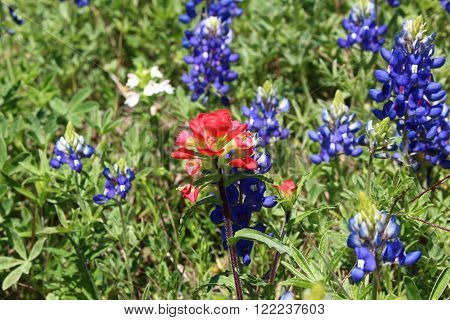 A Texas Indian paintbrush flower among bluebonnets