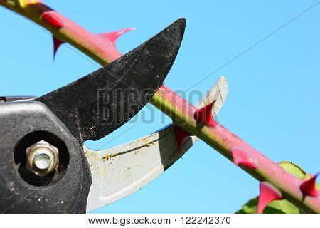 Cutting branch of rose with pruning shears