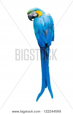 Colorful blue parrot macaw on white background
