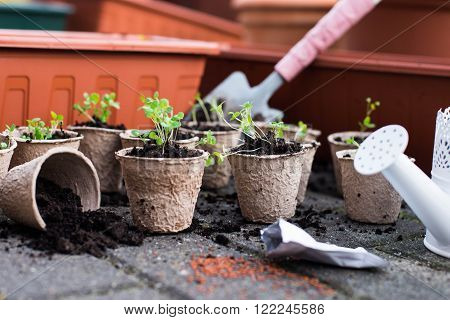 Potted seedlings growing in biodegradable peat moss pots from above. Seedling in fiber pots.
