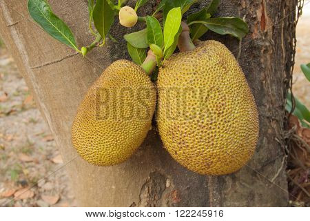 The jackfruit tree with the two fruit