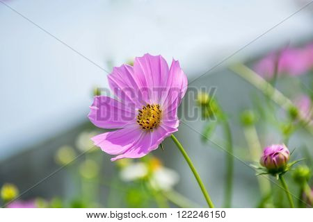 Cosmos flowers blooming on the sky for background