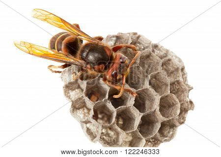 Hornet And Vespiary