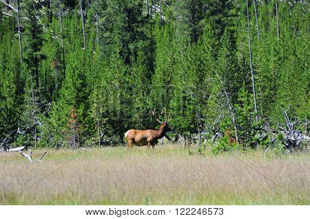 Bull elk stands in profile in a meadow in Yellowstone National Park. His antlers are still in velvet.