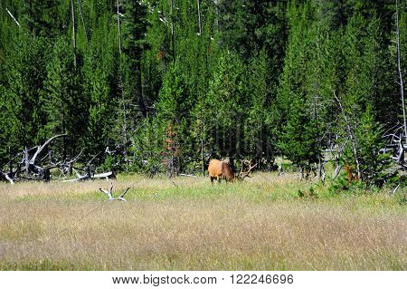 Bull elk dips its head to eat  in a field in Yellowstone National Park. His antlers are still in velvet and he has a large rack.