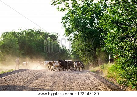 Herd of cows with cowherd on the country road. Photo can be used as a whole background.