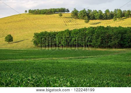Beautiful shot of green corn fields and forest on skyline. Photo can be used as a whole background.