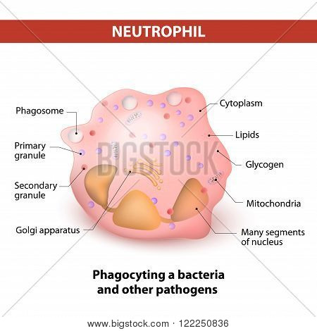 Neutrophil granulocytes. Neutrophils are a type of White Blood Cell that  destroys invading microorganisms, phagocyting a bacteria and other pathogens. Characteristics and structure of lymphocytes