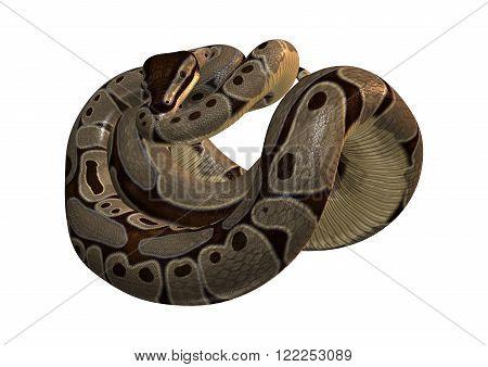 Ball python or Python regius isolated on white background