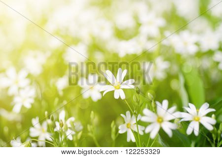 White tender spring flowers, Cerastivum arvense, growing at meadow. Seasonal natural floral background with sun shining