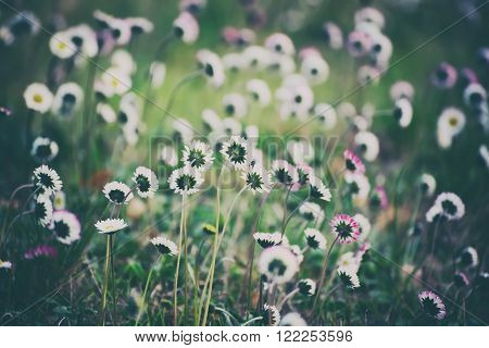 Spring marguerite daisy  flower in green grass, natural holiday vintage hipster background with copy space