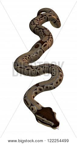 3D illustration of a ball python or Python regius isolated on white background