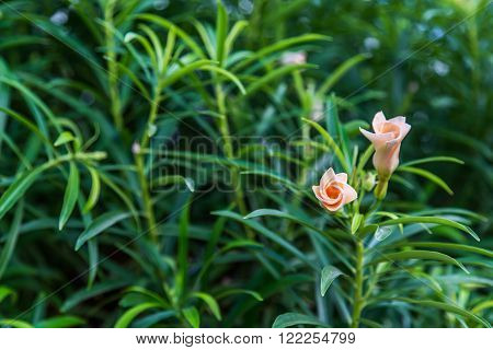 Oleander shrub, pink rose flowers with leaves.