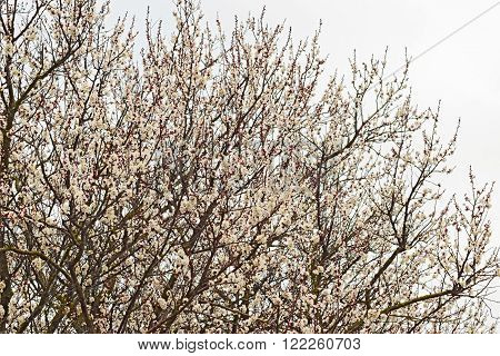 Blooming wild apricot in the garden. Spring flowering trees. Pollination of flowers of apricot.