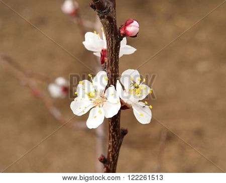 Blooming Wild Apricot In The Garden