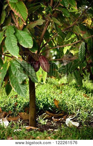 green cocoa tree  with pod on sunny farm