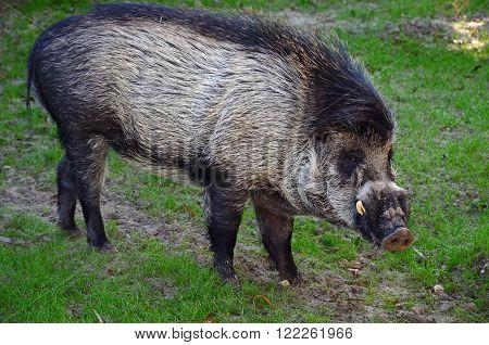 A Visayan Warty Pig in field of green grass