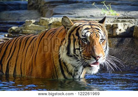 Malayan tiger standing in a pool of water