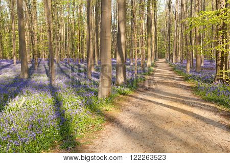 path in forest with bluebells Hallerbos Belgium