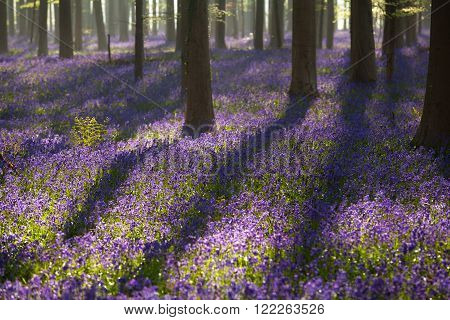 flowering bluebells in spring forest Hallerbos Belgium