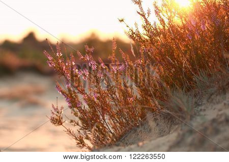 heather flowers on sand hill at gold sunset