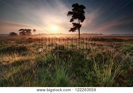 misty summer sunrise on meadow with pine tree