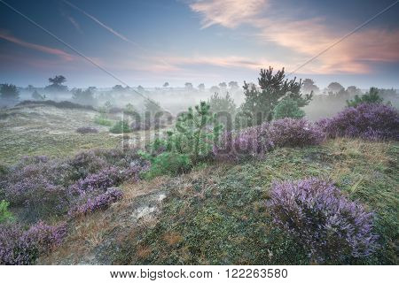 ling flowers on hills in misty summer morning