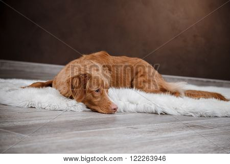 Dog Nova Scotia Duck Tolling Retriever portrait dog on a studio color background dog lying on the floor of the studio