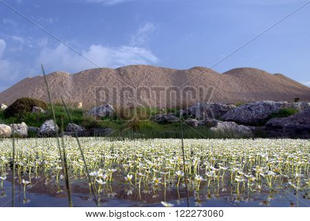 Spring flowers in the pond in Samaria in Israel