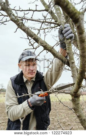 Work in the garden. Man cutting branches of trees and berry bushes using the saw.