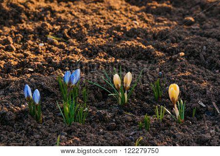 Crocus Flowers In The Soil