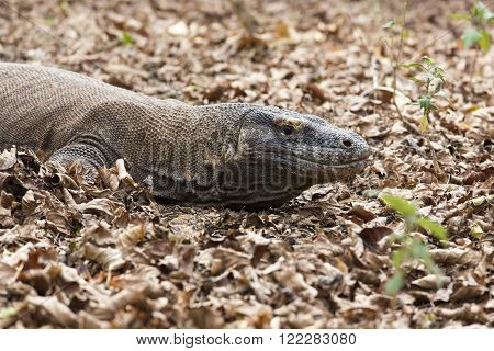 Komodo Dragon the largest lizard in the world. Indonesia