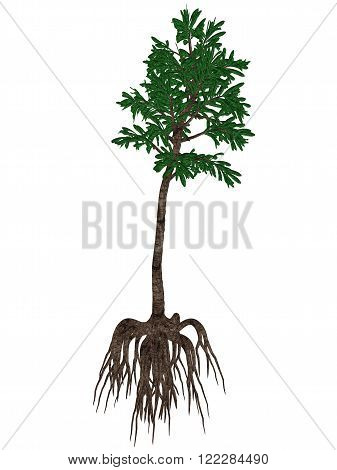 Cordaites angulostriatus prehistoric arboreal plant isolated in white background - 3D render