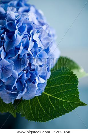Close-up of a blue hydrangea plant