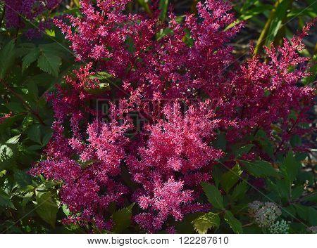 Flowering bright lush Astilbe mauve hue in the garden in summer.