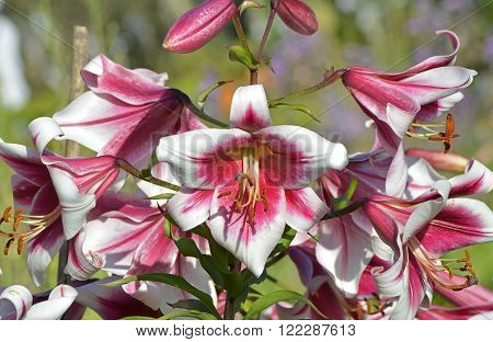 Inflorescence of bright, motley flowers of a lily in the garden in summer.