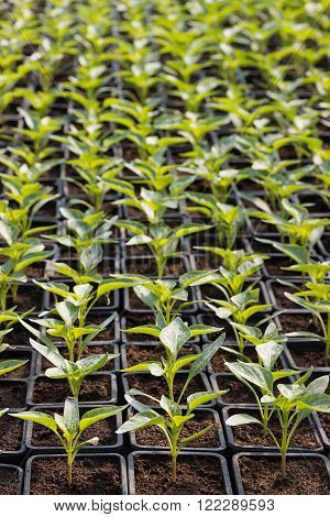 Paprika Seedlings Organic gardening Selective focus and shallow Depth of field