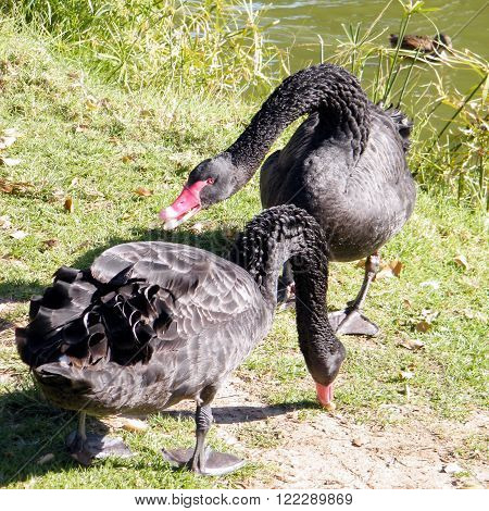 Angry black swan on the banks of the pond of Ramat Gan Park Israel