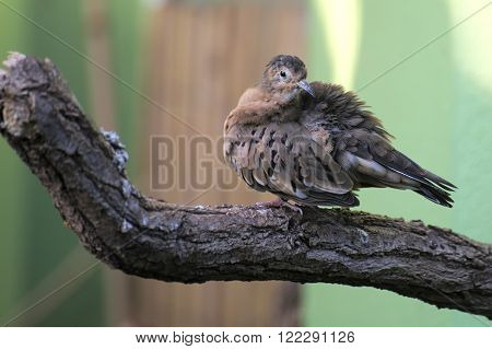 Ecuadorian Ground Dove (columbina Buckleyi) Sitting On A Tree