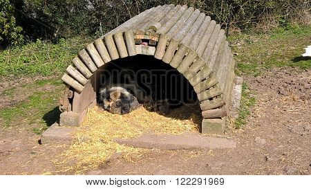 Pigs sleeping in shelter photographed at Trago Mills in Newton Abbot in Devon