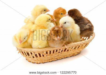 Lots Of Newborn Chickens In Wicker Basket