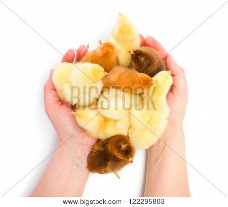 Lots Of Newborn Chickens Being Protected By Human Hands