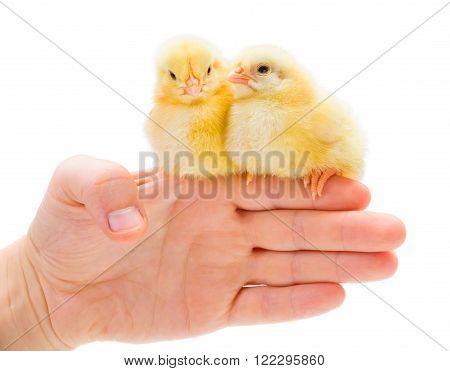 Two Newborn Chickens Sitting On Human Palm Edge