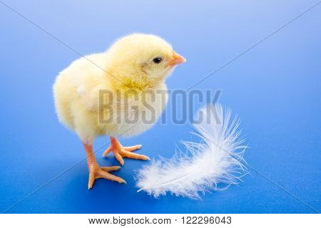 Little Newborn Yellow Chicken With White Feather On Blue Background